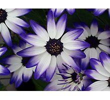 Beautiful Bicolour Blooms Photographic Print