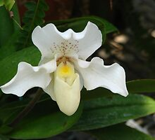 White Ladys Slipper Orchid by IndyLady