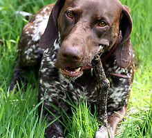 Max - German short-haired pointer by amjaywed