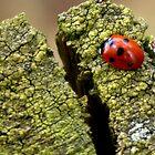 ladybird by cameraman