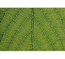 Leaf Veins Photographic Print