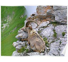Swiss Mountain Ibex Poster