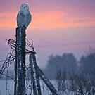 Snowy Owls 2 by Owl-Images