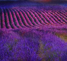 height of the bloom rolling lavender fields by R Christopher  Vest