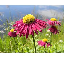 Pink Daisies by the Lake Photographic Print