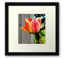 Multi-Colored Tulip Framed Print