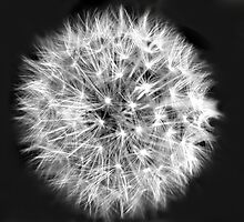 Dandelion Head by Karen Martin