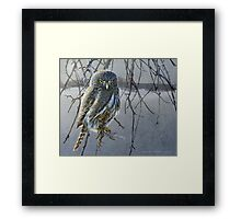 open country hunter: northern pigmy owl  Framed Print