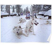 Husky Sleighs - Lapland, Sweden Poster
