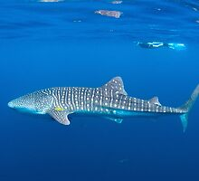 Whale Shark by aabzimaging