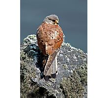 Kestrel Photographic Print