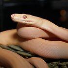 Albino Olive Python by Steve Bullock