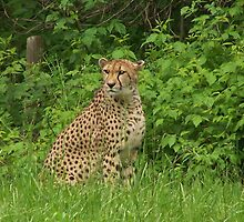 lepard from Binder Park Zoo by Jodi Cool