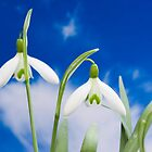 snowdrop flower blooms  by Jan Prchal