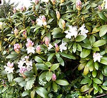 Young Rhodedendron bush by hilarydougill