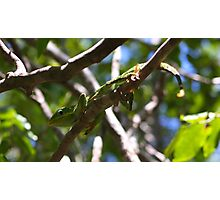 Chameleon From Cuba Photographic Print