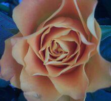 Pink Rose At Dusk by DNVR