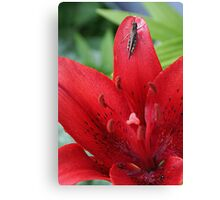 Grasshopper On A Red Lily Canvas Print