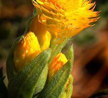 Asteraceae by nadine henley