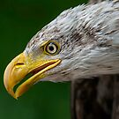 Bald Eagle Profile by Daniel  Parent