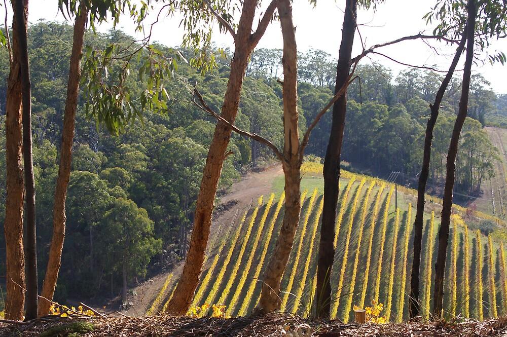 Autumn Vineyard  by hamish