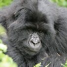 Gorilla love by Lynda Harris