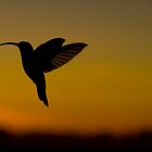 Hummingbird in flight by robinmoore