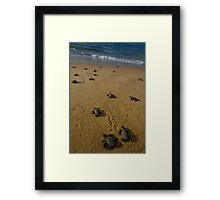 hawksbill turtle hatchlings in Bahia, Brazil Framed Print