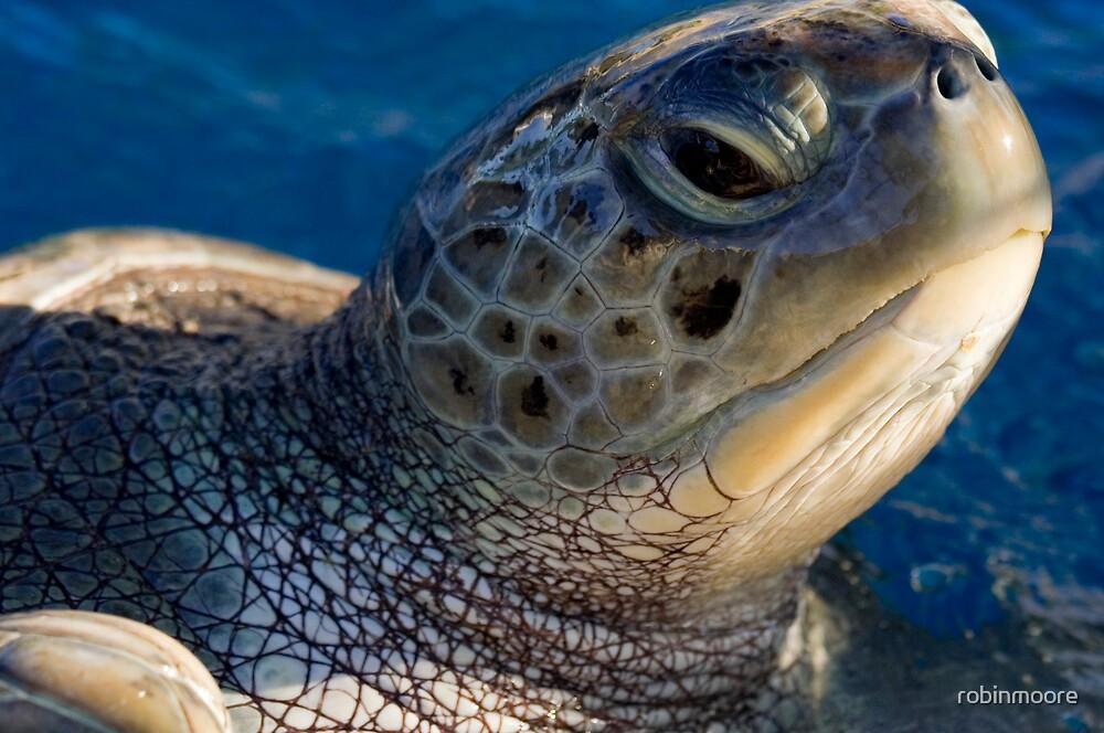 Green turtle, Chelonia mydas, in Bahia by robinmoore