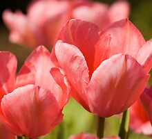 Red tulips by Jan Prchal