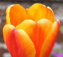 Orange Tulip by Judy Dean