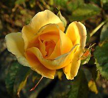 Yellow Rose by newbeltane