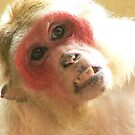 Red Faced Monkey by qshaq