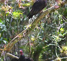 Turkey Vultures (Cuba) by jdmphotography