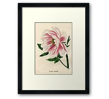 Paeonia moutan or Poppy-flowered Tree Paeony Framed Print