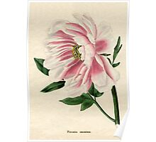 Paeonia moutan or Poppy-flowered Tree Paeony Poster