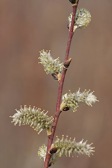 Pussy Willow in Bloom by Stephen Thomas