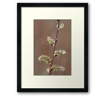 Pussy Willow in Bloom Framed Print