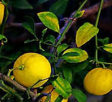 Winter Lemons by Michael May