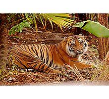 """Kemiri"" Sumatran Tiger, Adelaide Zoo Photographic Print"