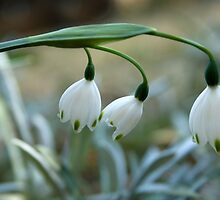 "Pure... ""Snowflakes"" (Leucojum Aestivum) Free State, South Africa by Qnita"