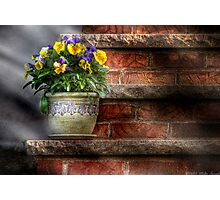 Pansies Photographic Print