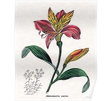 Alstroemeria aurea or Golden-flowered Alstroemeria Poster