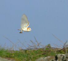 Barn Owl with prey by M G  Pettett