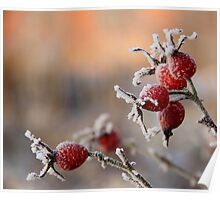 Frosty rose hips in sunlight Poster