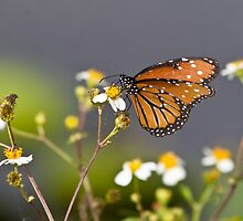 Everglades Butterfly by RickKramer