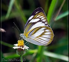 Caper White Butterfly by DonMc