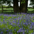Blue Bell Wood by Matthew Walters