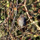 Dunnock  by larry flewers