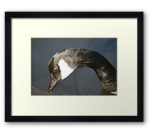 duck down on the pond Framed Print